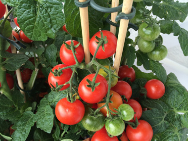 Tomatenpflanze gegen Bienen und Wespen